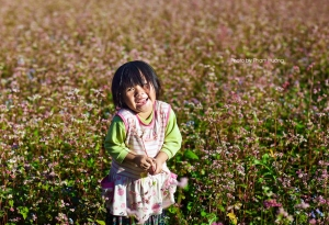 First buckwheat flower festival to be held in Ha Giang